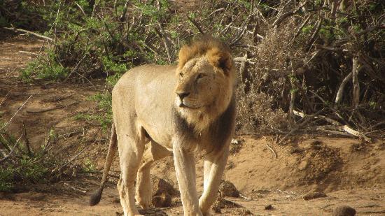 Ora Resort Watamu Bay: leone