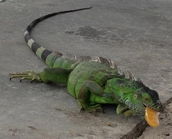 Mandarin Oriental, Miami : Iguana on hotel beach.