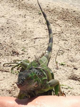 ماندارين أورينتال ميامي: Iguana on hotel beach. 