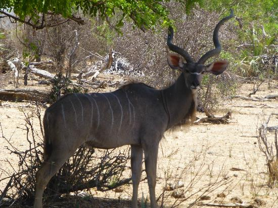 ‪‪Sable Mountain Lodge‬: Kudu