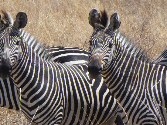 Sable Mountain Lodge: Beautiful zebras