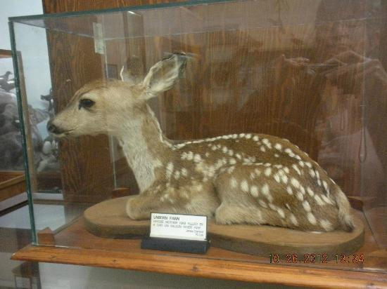 Tillamook County Pioneer Museum: Unborn Fawn