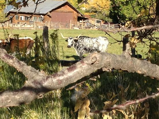 Canyon of the Ancients Guest Ranch: Longhorns living at ranch