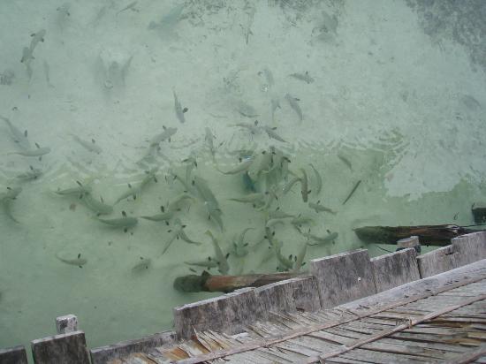 Kri Eco Resort: les petits requins vus du ponton