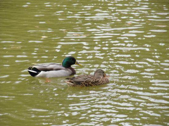 Freedom Park: Male and Female Mallard Ducks