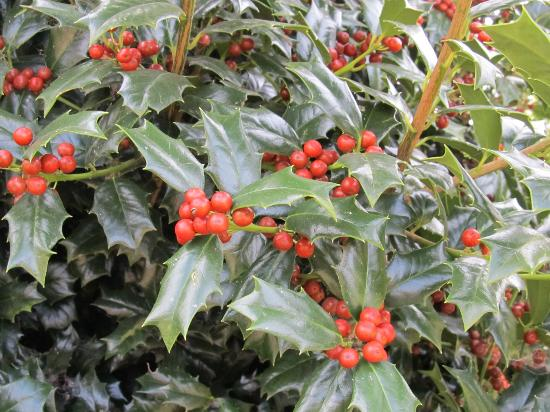 Freedom Park: Holly Bushes by the lake
