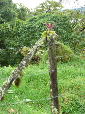 Poas Volcano Lodge: bromelaid growing a mossy fence post