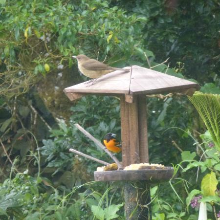 Poas Volcano Lodge: An oriole and friend at the bird feeder during breakfast