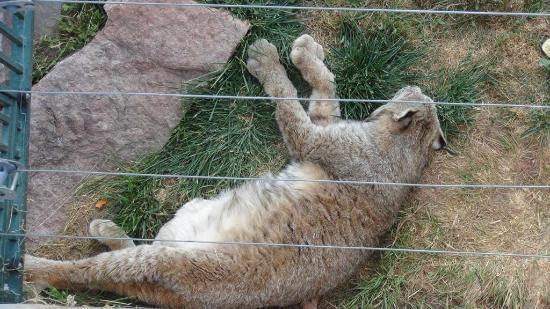 Bear Country USA: Bear country Bobcat