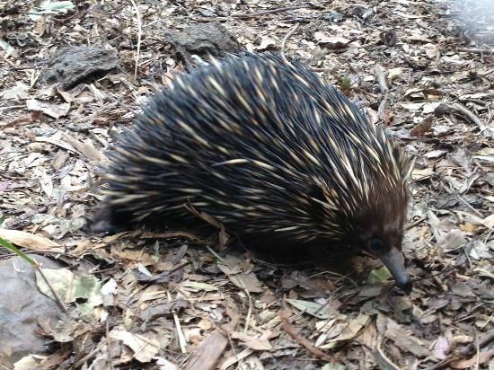 Currumbin Wildlife Sanctuary: echidna