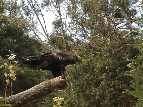 Currumbin Wildlife Sanctuary: a wedge tail eagle