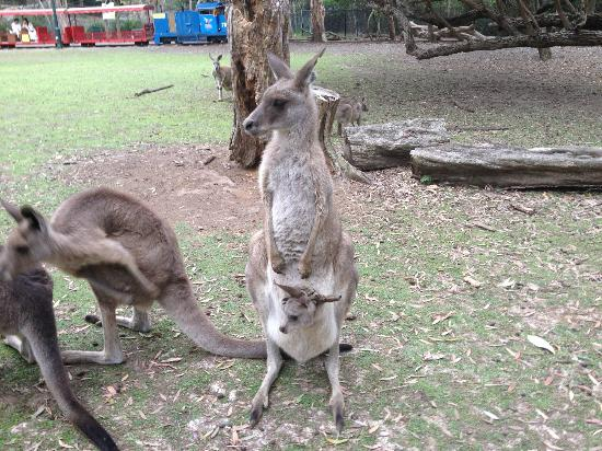 Currumbin Wildlife Sanctuary: kangaroo with a Joey in it's pouch