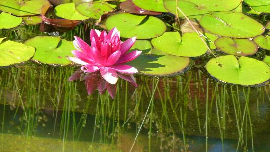 International Buddhist Society (Buddhist Temple): Lily