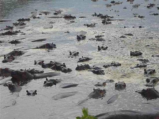 Serengeti Hippo Pool (Charca de Hipopótamos del Serengeti): Just a few of the many hippos