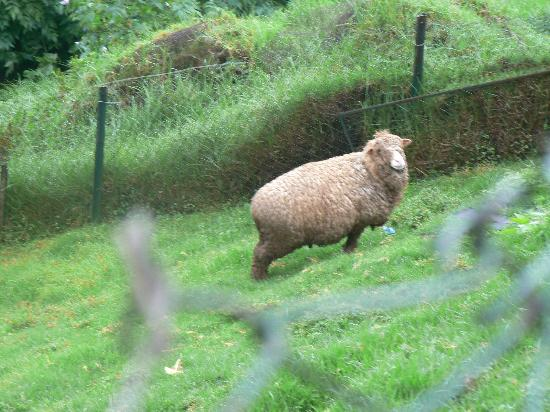 Destiny Farmstay : The Ram chews on grass faster than you can imagine !