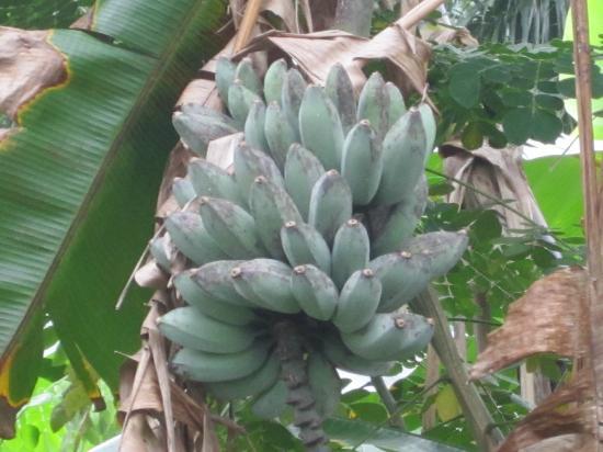 فيجي هايدواي ريزورت آند سبا: bunch of bananas on the banana tree 