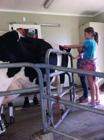 Manukau, New Zealand: milking one of the cows