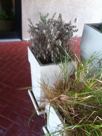 Holiday Inn Express & Suites Houston - Memorial Park Area: Dead plant at the entrance