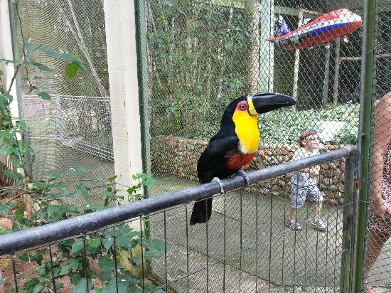 Pomerode, SC: Tucanos en zona cerrada, BELLÍSIMO