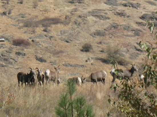 The Victorian Motel and RV Park: Bighorn Sheep on edge of Town