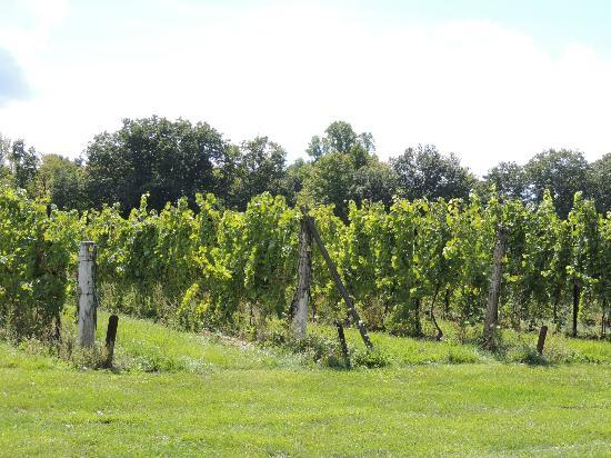 Buttonwood Grove Winery Cabins: The vineyards