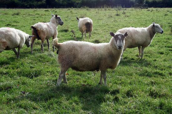 Larkbeare Grange: Sheep on the grounds
