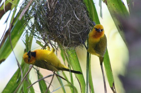 Maguga Lodge: wevervogels