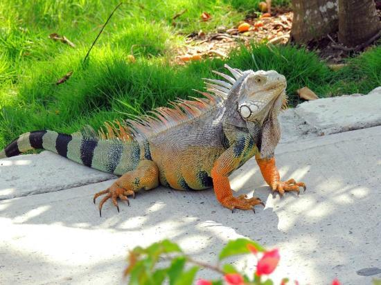 Decameron Baru: iguana greeting us