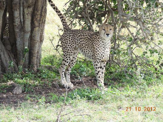 Oloshaiki Camp: Cheetah