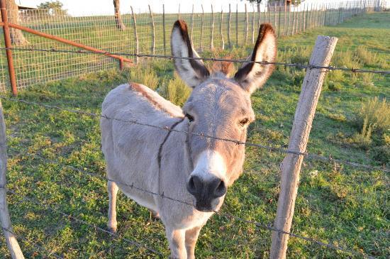 Winding Ridge Bed and Breakfast: Miniature donkey on property next door