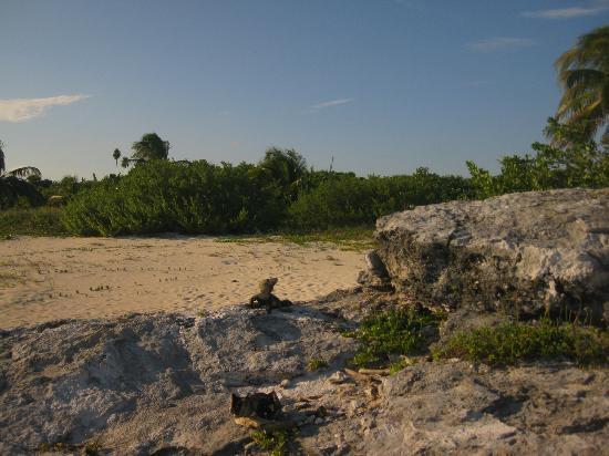 Playacar Palace: iguana