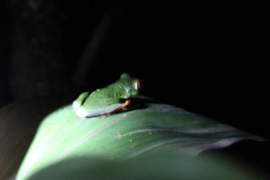 Celeste Mountain Lodge: Red Eyed tree frog in garden