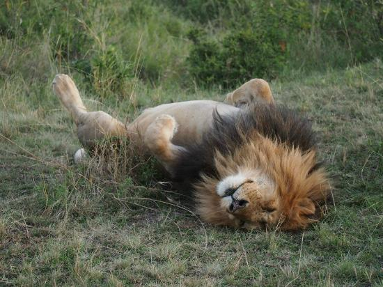 Ngerende Island Lodge: Sleeping lion