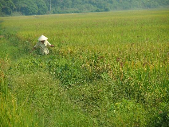 Wide Eyed Tours - Day Tours: Lady in the rice fields