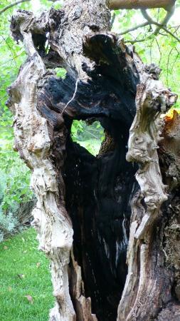 Fattoria Poggerino: I heart Poggerino (an old olive tree)