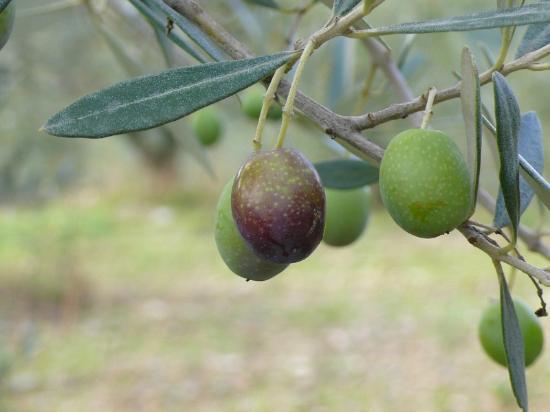 Fattoria Poggerino: Olive