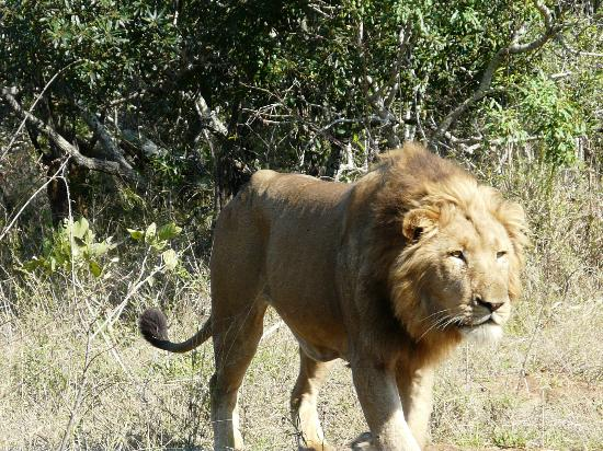 Inyati Game Lodge, Sabi Sand Reserve: He cruised past us as he spotted nearby buffalo