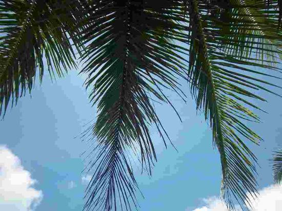 The Palm Beach Resort: nice palms