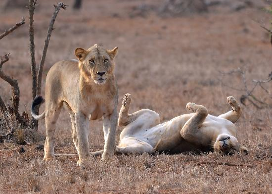 Sarova Salt Lick Game Lodge: Lions cool off after a mating session.