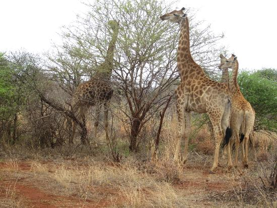 Jaci's Safari Lodge: It's all about the animals... we saw them all! Up close!