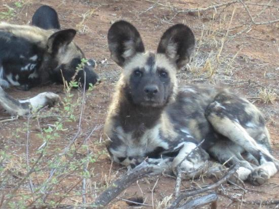 Jaci's Safari Lodge: Second most endangered animal in South Africa -- the wild dog!