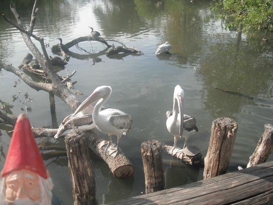 Audubon Zoo: Pelicans.