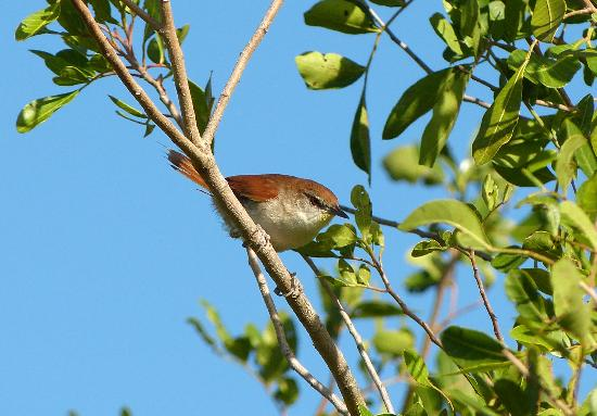 The Lodge at REGUA: Yellow-chinned Spinetail
