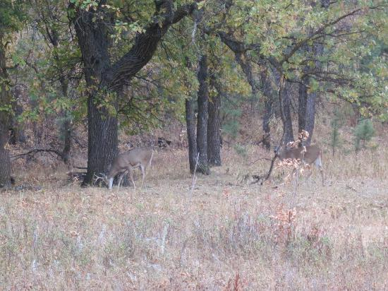 Custer State Park: Wild Deer