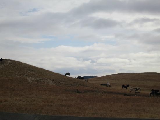 Custer State Park: Donkeys/Burros