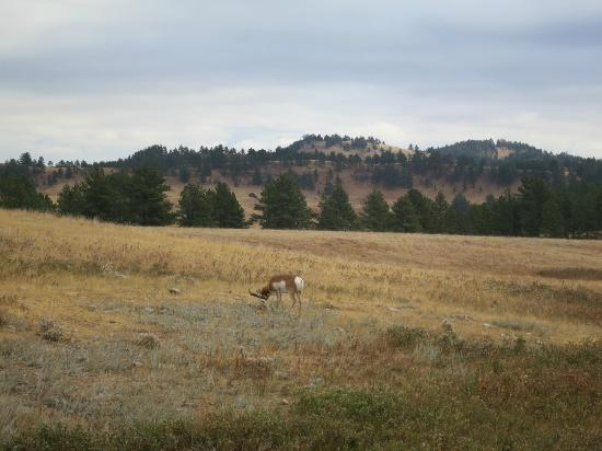 Custer State Park : White Tailed Deer....I think
