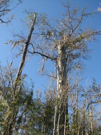 Altamaha Coastal Tours: The woodpeckers had dozens of holes in this tree