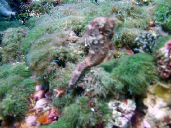 Jamaica Scuba Divers Ltd.: Sea Horse
