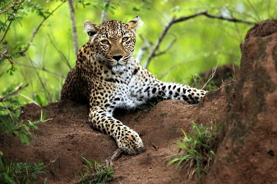 Savanna Private Game Reserve: The elusive leopard - incredible to see a leopard up close