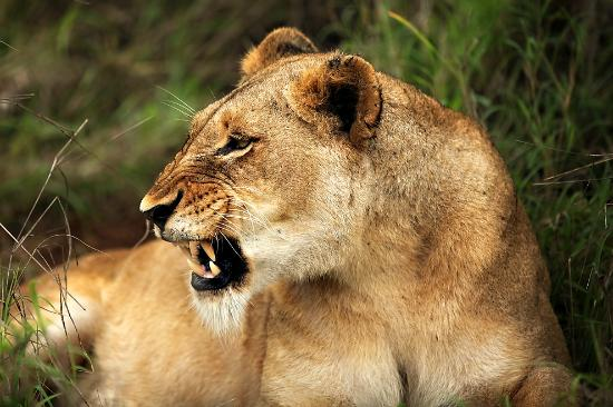 Savanna Private Game Reserve: Lioness shows us who's boss